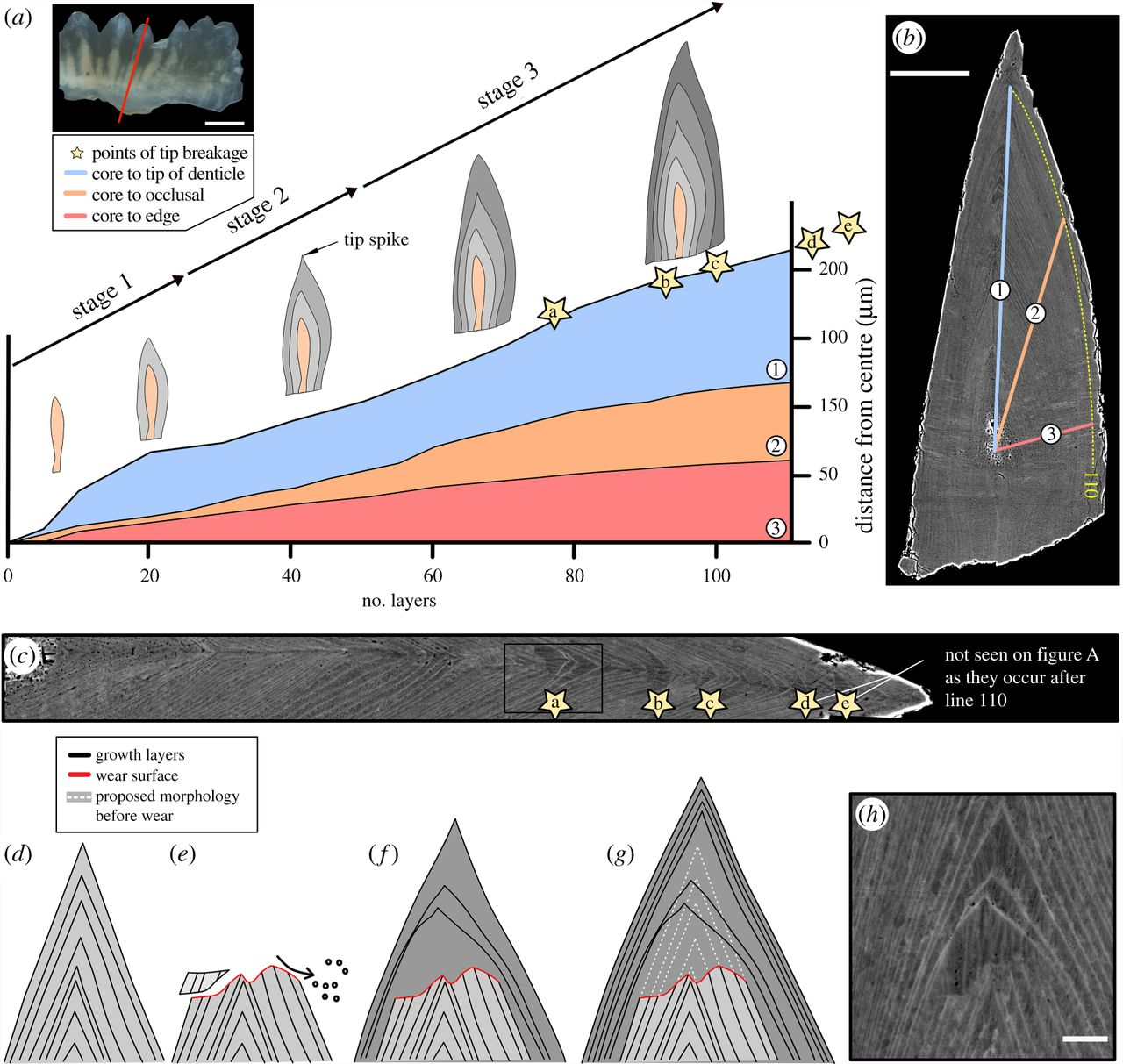 "Towards entry ""Wear, tear and systematic repair: testing models of growth dynamics in conodonts with high-resolution imaging"""